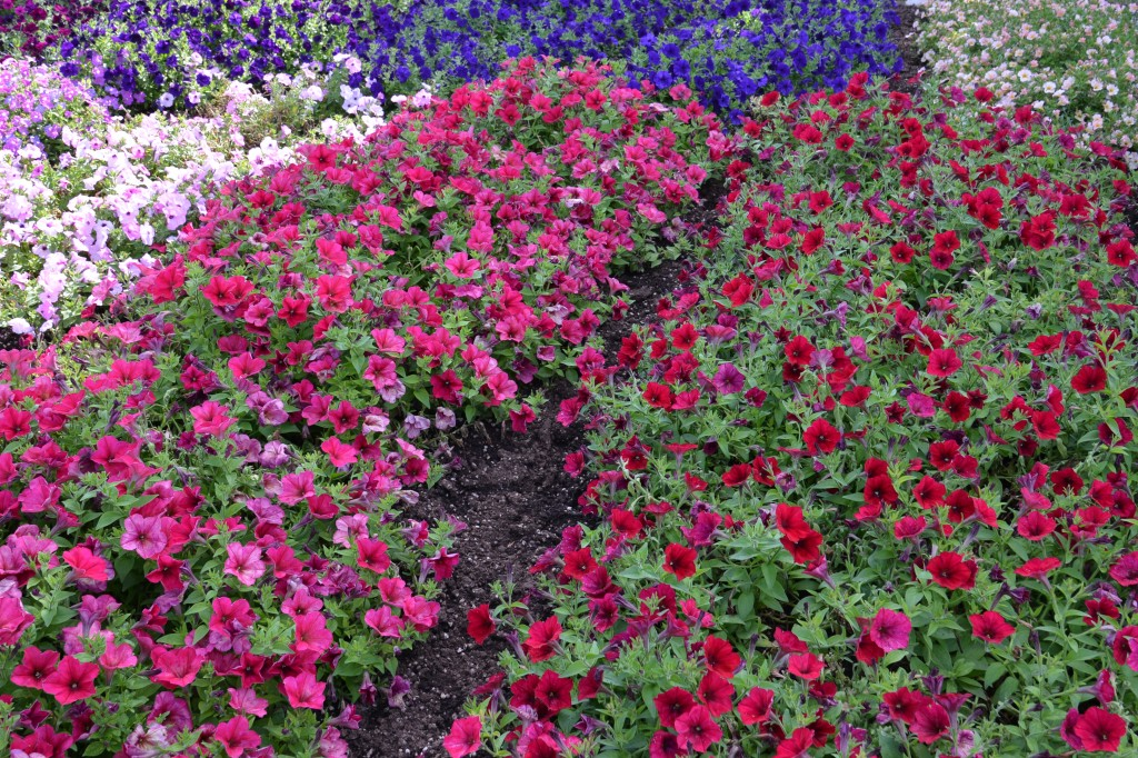 Two new petunia introductions for spring of 2015, Berry Velour and Red Velour