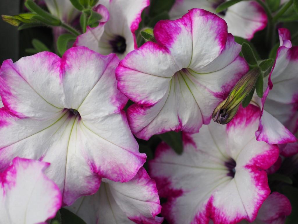 Petunia Sanguna Radiant Rose