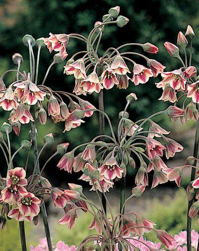 086 Nectaroscordum siculum
