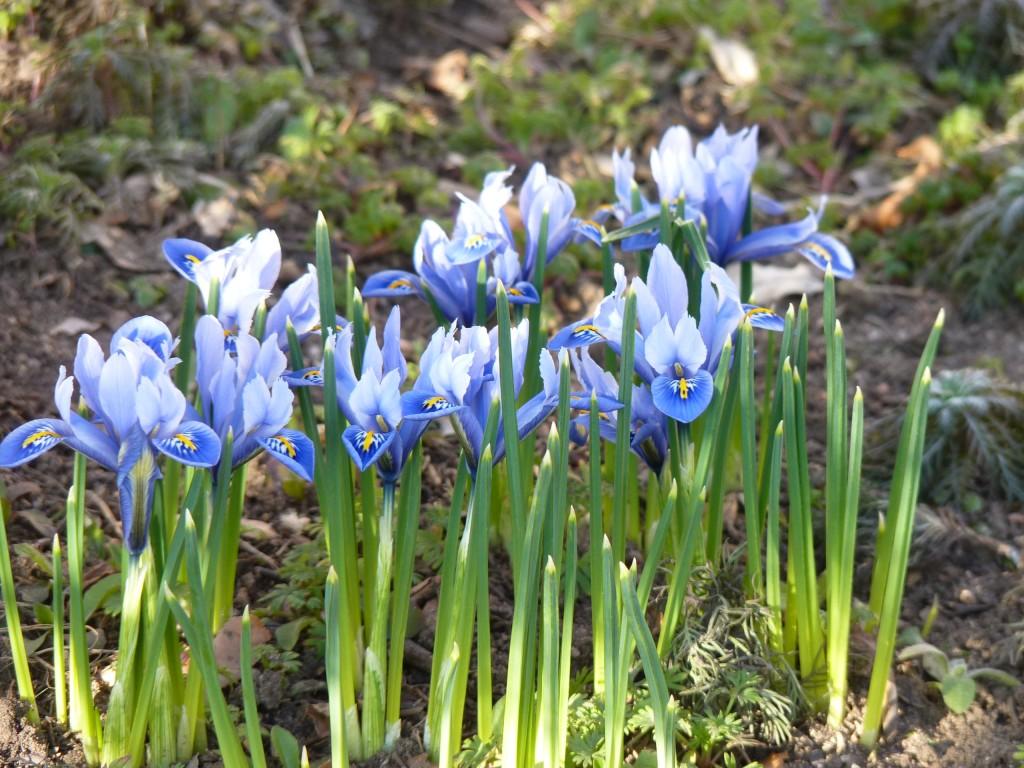Iris reticulata Harmony (2)
