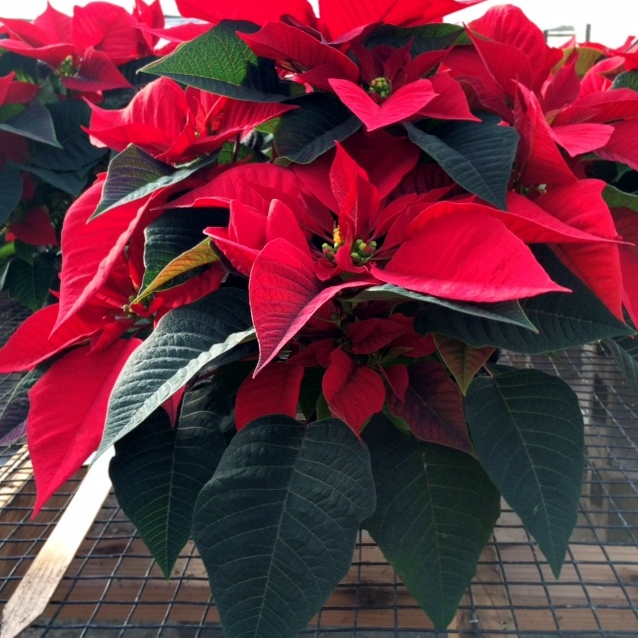 Everything You Ever Wanted To Know About Poinsettias Echter S