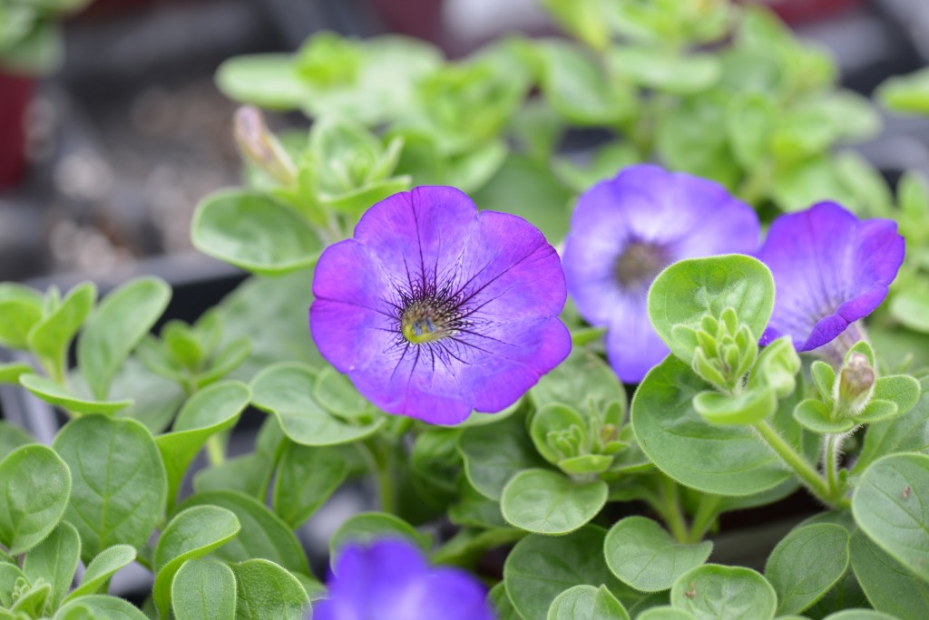 Petunia Sanguna Atomic Blue