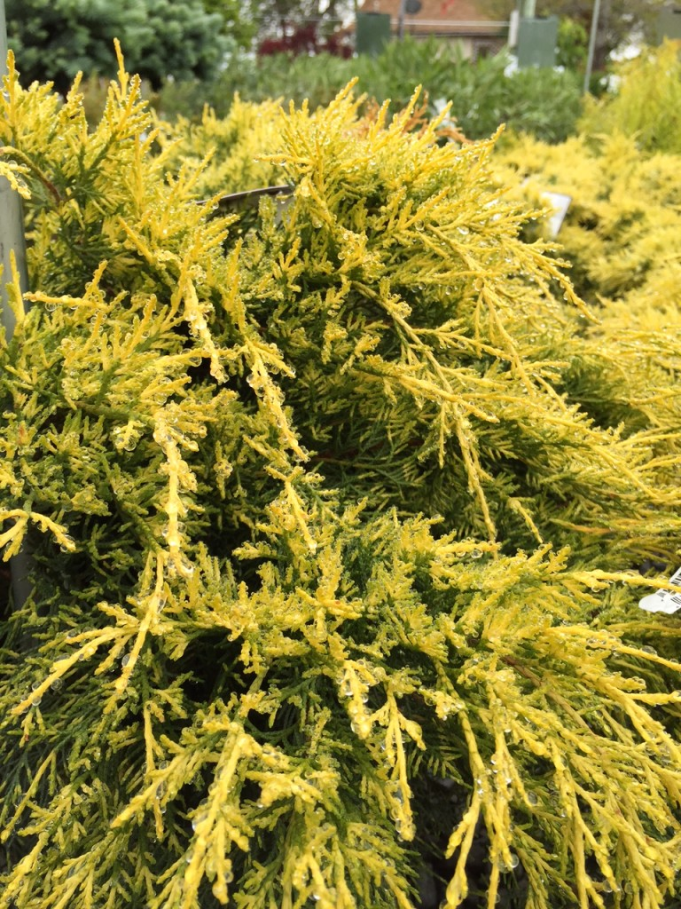 "Juniper ""Sea of Gold"" is a dramatic shrub that provides garden color year round."