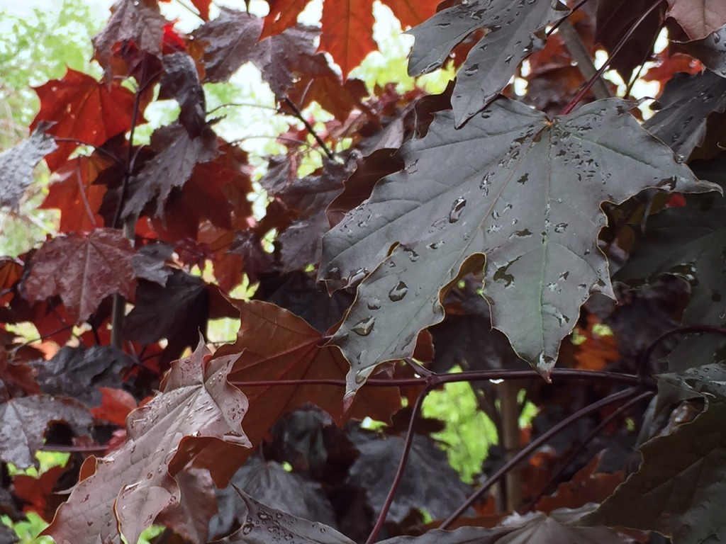 Royal Red Norway Maple
