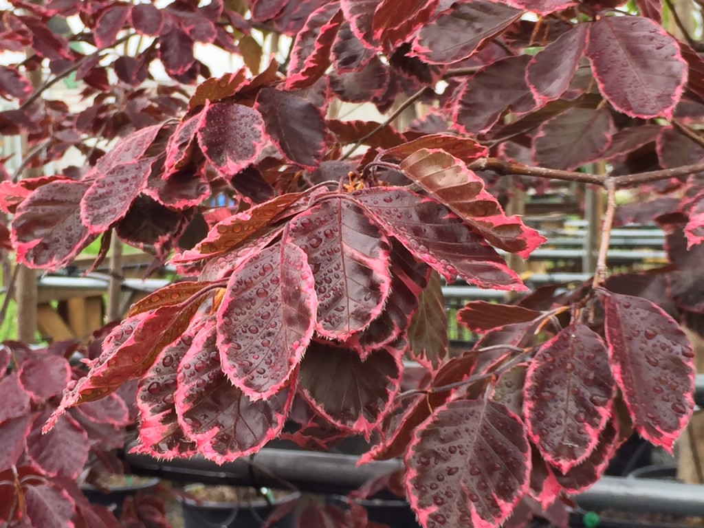 Tricolor Beech have a decidedly pyramid shape while young.  Like many of us, they round out a bit with age.  They reach 25'-35' tall.  They will do best in an eastern or north eastern exposure, in a partial sun area.