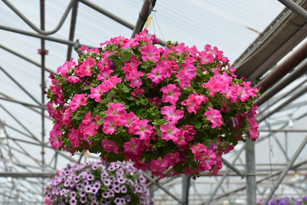 Panache Tickled Pink Petunias