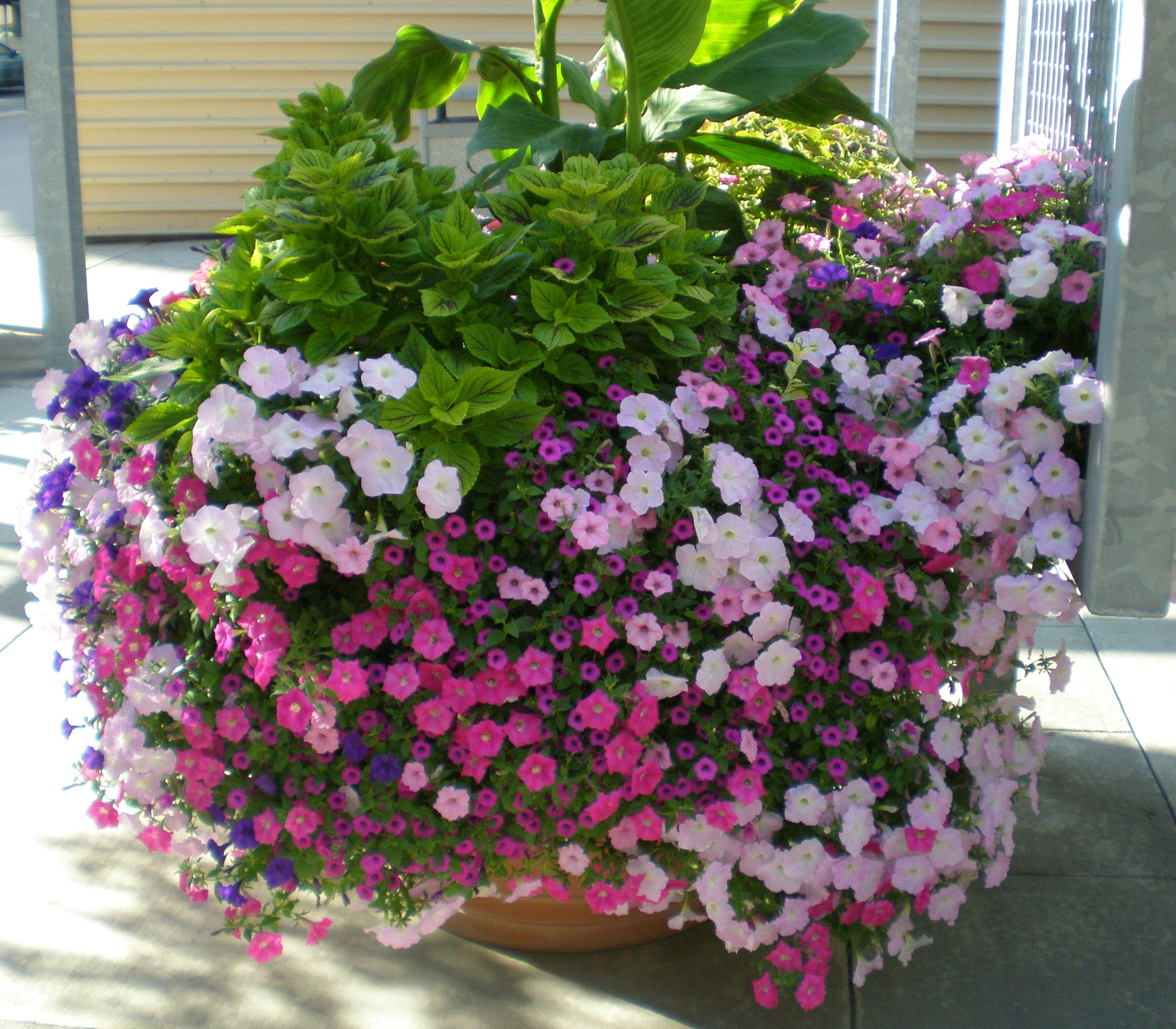 Perfect Petunias Echter S Garden Talk
