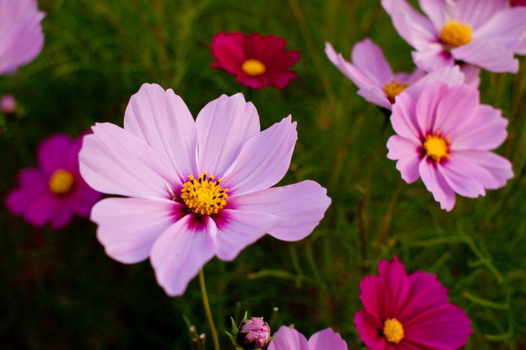 Flower,_Cosmos_-Radiance-_-_Flickr_-_nekonomania_(1)