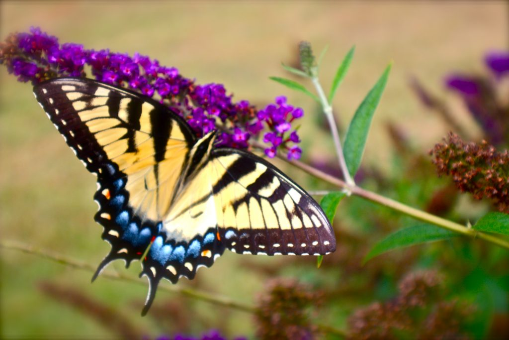 Swallowtails_love_the_Butterfly_Garden_(7373525610)