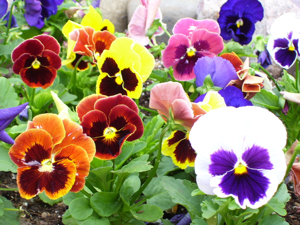 Low maintenance annuals for shade echters garden talk pansy izmirmasajfo