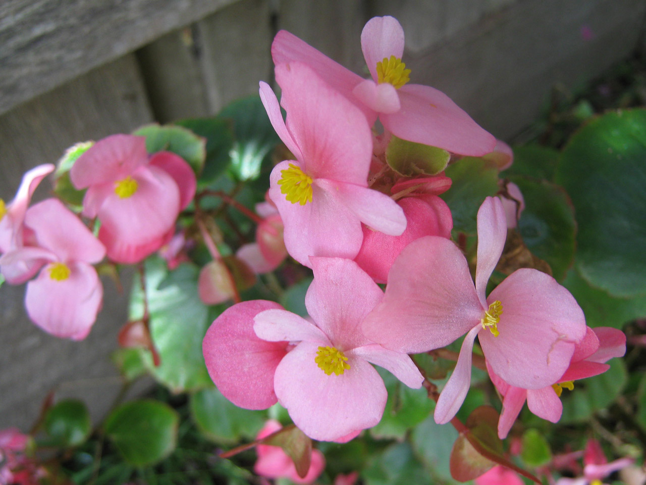 Low maintenance annuals for shade echters garden talk wax begonias are a steady mainstay of shaded beds but they can also handle sun flower colors are red pink or white and leaves can be either green or izmirmasajfo