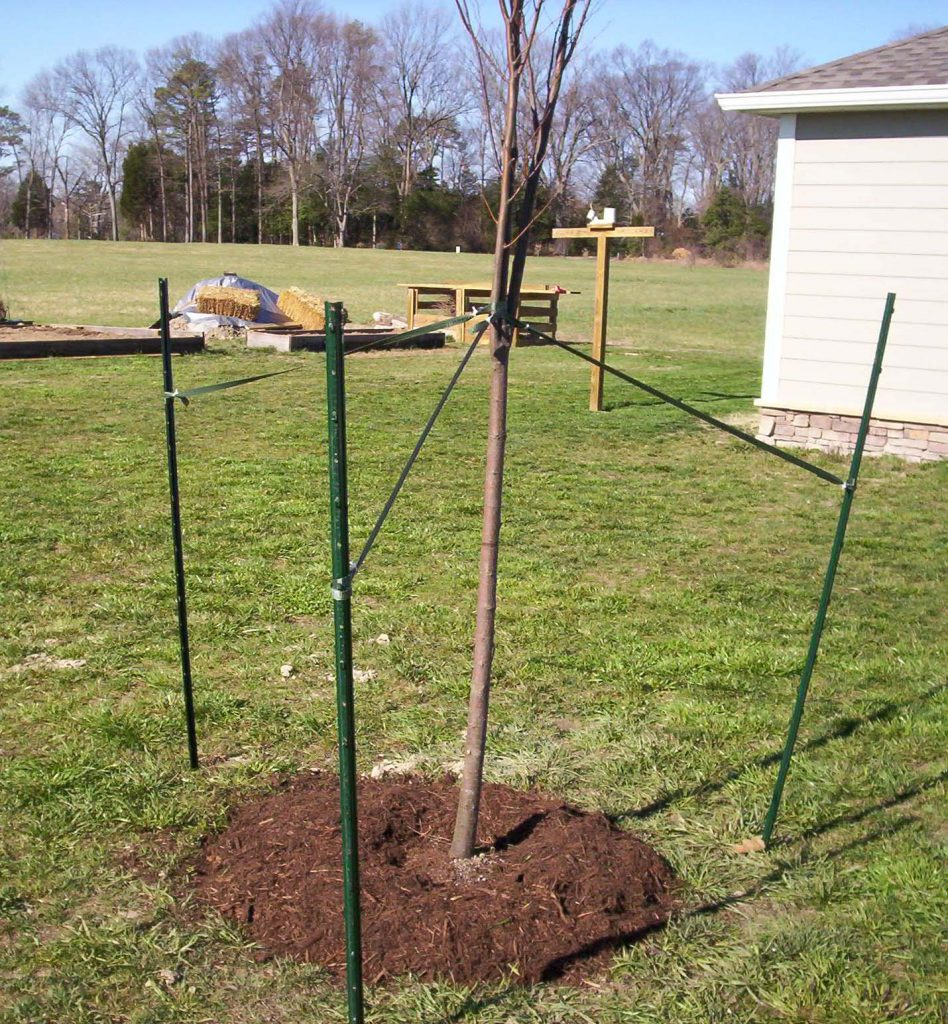 tree with stakes