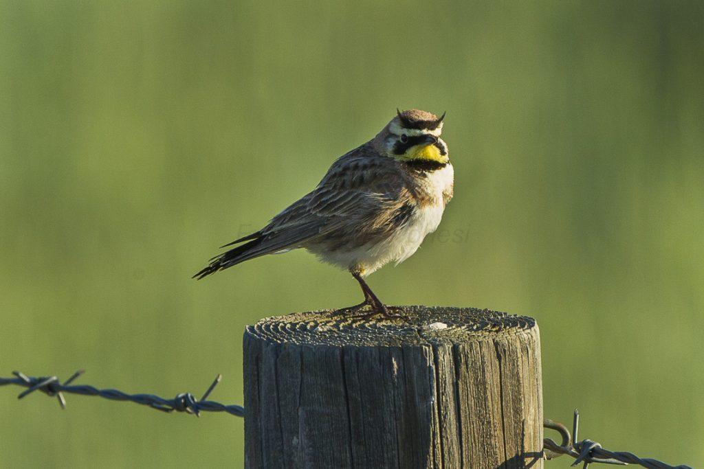 horned-lark
