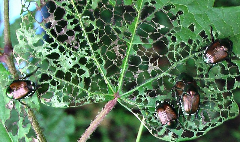 how to stop japanese beetles from eating plants